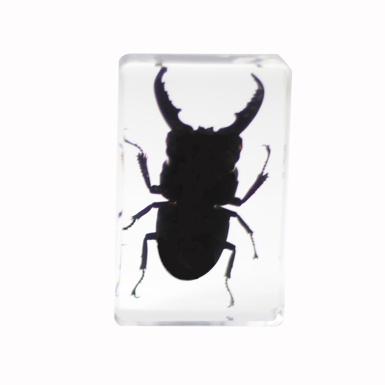 saxon Resin Preserved Specimen – Beetle